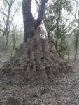 une termitière dans le parc d'Ouaga