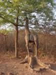 Girafe taillée dans un tronc d'arbre