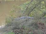 Crocodile en liberté dans le Parc